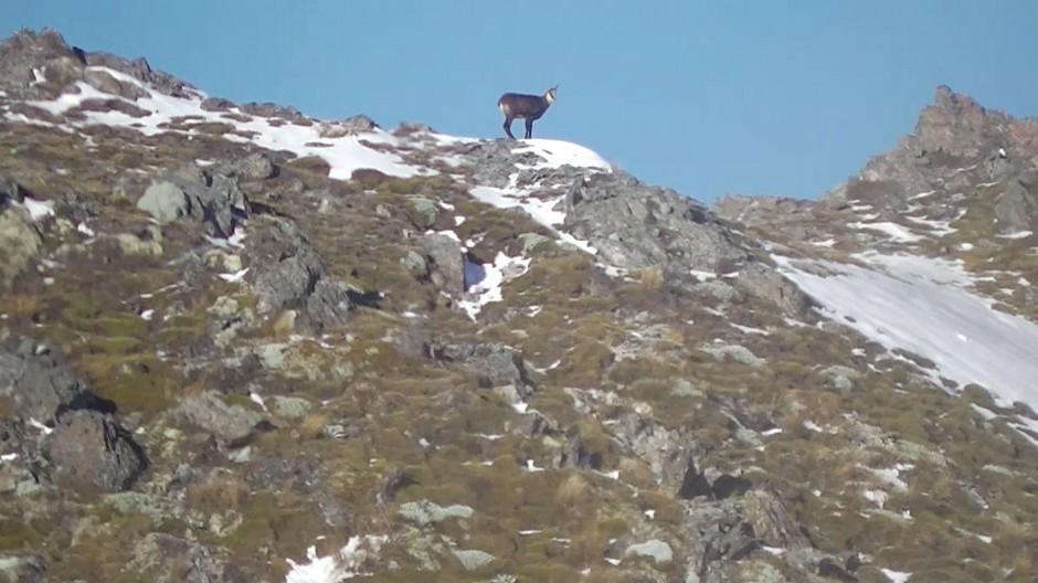 Chamois on ridge - well aware of Steve