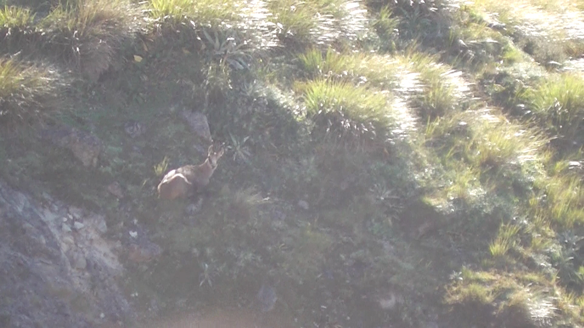 chamois at rest2