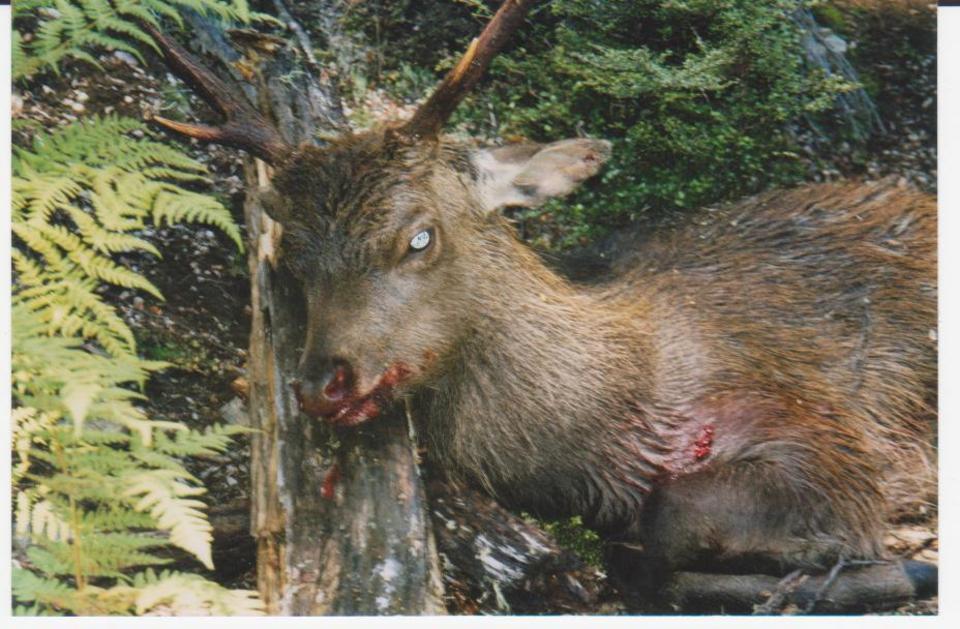 Sika Deer hunting   Hunting Kiwi Style