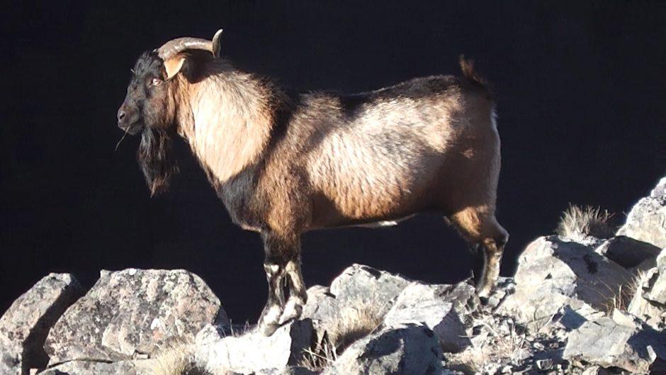 one horned goat 5